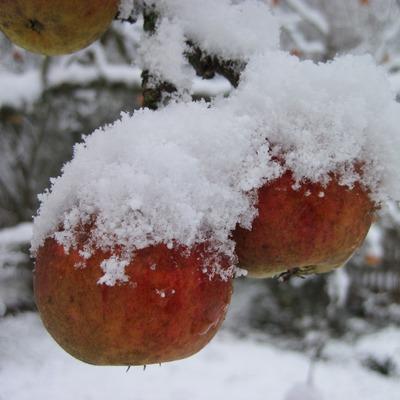 Box apple tree 1304850 1280